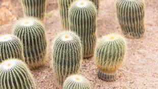 Cacti in desert garden
