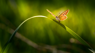 Butterfly resting on a strand of grass