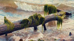 Fallen tree covered in seaweed in ocean
